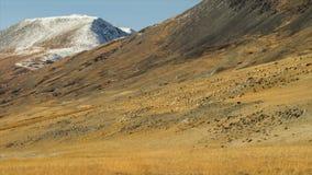 Een troep van schapen die op de heuvel weiden Sneeuwpiek erachter De herfst, zonnige dag en winderig weer stock video