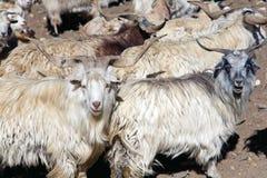 Een troep van schapen die ZojiLa-pas, Ladakh, Jammu en Kashmir, India kruisen Stock Foto's