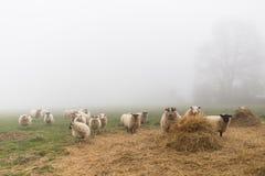 Een troep van schapen in een mistige dag Stock Afbeelding