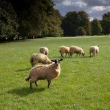 Een troep van schapen en lammeren die op het gebied weiden Stock Afbeelding