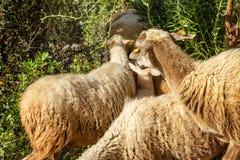 Een troep van schapen met spaanders op hun oren stock afbeelding