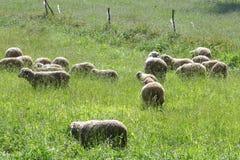 Een troep van schapen weidt Royalty-vrije Stock Foto