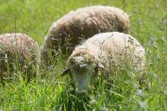 Een troep van schapen weidt Stock Afbeeldingen