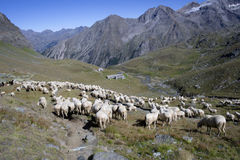 Een troep van sheeps Stock Afbeeldingen