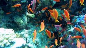 Een troep van tropische vissen in een kleurrijk koraalrif, Rode Overzees, Egypte stock footage