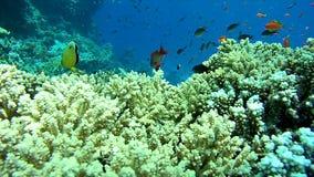 Een troep van tropische vissen in een kleurrijk koraalrif, Rode Overzees, Egypte stock videobeelden