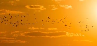 Een troep van vogels bij dageraad, de zon Stock Foto
