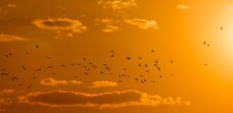 Een troep van vogels bij dageraad, de zon Stock Foto's