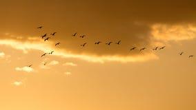 Een troep van vogels bij dageraad, de zon Stock Afbeelding