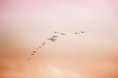 Een troep van vogels die in de hemel vliegen Royalty-vrije Stock Foto