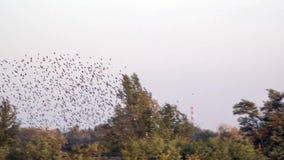 Een troep van vogels fladdert boven Spontane beweging van een reusachtige massa van vogels stock videobeelden