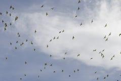 Een troep van vogels tegen een bewolkte hemel Stock Afbeeldingen