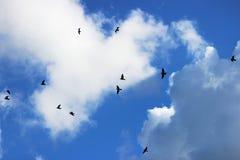 een troep van vogelsvliegen in een heldere blauwe hemel met witte krullende wolken in de zomer Zwarte silhouetten stock foto's