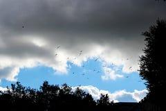 een troep van vogelsvliegen in een heldere blauwe hemel met witte krullende wolken en bomen in de zomer Zwarte silhouetten stock foto