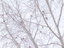 Een troep van waxwings Royalty-vrije Stock Afbeeldingen