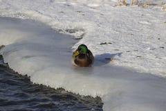 Een troep van wilde eenden in de de winterrivier stock foto's