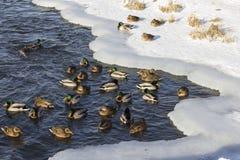 Een troep van wilde eenden in de de winterrivier royalty-vrije stock fotografie