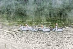 Een troep van witte binnenlandse ganzen die in het meer bij dageraad baden De geacclimatiseerde die gans is een gevogelte voor vl stock foto's