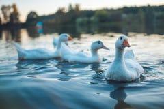 Een troep van witte Binnenlandse Ganzen die in meer in avond zwemmen De geacclimatiseerde grijze die gans is gevogelte voor vlees Stock Afbeelding