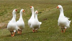 Een troep van witte ganzen stock afbeeldingen