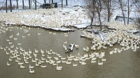 Een troep van witte ganzen in de sneeuw in de winter royalty-vrije stock fotografie