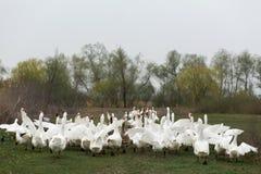 Een troep van witte ganzen loopt over het dorp die, die en hun vleugels klappen schreeuwen stock afbeelding