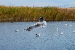 Een troep van witte grote zeemeeuwen in een de herfstpark vist in het meer Stock Foto's