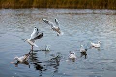 Een troep van witte grote zeemeeuwen in een de herfstpark vist in het meer Stock Afbeelding