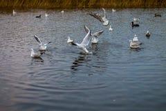 Een troep van witte grote zeemeeuwen in een de herfstpark vist in het meer Royalty-vrije Stock Foto's