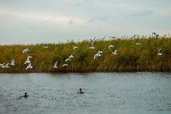 Een troep van witte grote zeemeeuwen in een de herfstpark vist in het meer Royalty-vrije Stock Foto