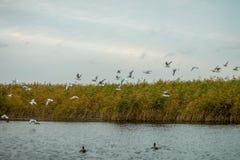 Een troep van witte grote zeemeeuwen in een de herfstpark vist in het meer Stock Foto