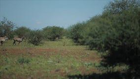 Een troep van zebras volgt elkaar over het gebied op een zonnige dag in Afrika Dieren in wilde aard stock videobeelden