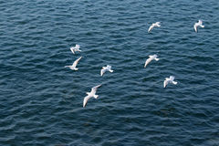 Een troep van zeemeeuwen die over het overzees vliegen Royalty-vrije Stock Afbeeldingen