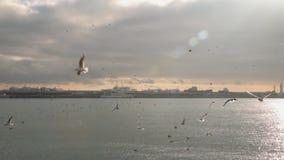 Een troep van zeemeeuwen die over het overzees vliegen stock footage