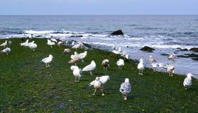 Een troep van zeemeeuwen op het strand Stock Foto