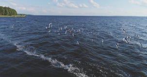 Een troep van zeemeeuwen stijgt van de kust, luchtmening, langzame motie op stock videobeelden