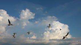 Een troep van zeemeeuwen vliegt tegen de mooie bewolkte hemel, langzame motie, Vangst tijdens de vlucht voedsel stock videobeelden