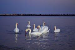 Een troep van zwanen op de kust in de avond stock afbeeldingen