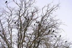 Een troep van zwarte kraaien zit op de takken van acacia stock fotografie