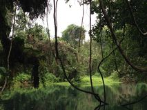 Een tropische regenwildernis met wijnstokken stock afbeeldingen