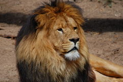 Een trotse leeuw Royalty-vrije Stock Foto's