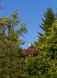 Een trotse ooievaar met kuikens zit in een nest in het Kaliningrad-gebied, Rusland stock afbeelding