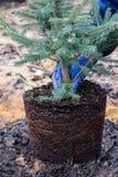 Een tuinarbeider houdt een jonge blauwe nette boom met wortels en aarde Royalty-vrije Stock Foto's