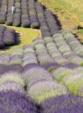 Een Tuinhoogtepunt van lavendel royalty-vrije stock foto's