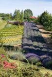 Een `-Tuinhoogtepunt van lavendel ` stock afbeelding