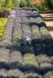 Een `-Tuinhoogtepunt van lavendel ` royalty-vrije stock afbeelding
