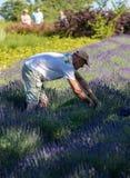 Een `-Tuinhoogtepunt van lavendel ` door Barbara en Andrzej Olender in Ostrà ³ w 40 km van Krakau wordt geschikt dat stock foto's