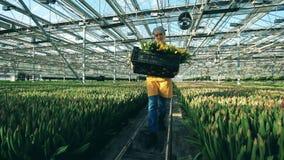 Een tuinman draagt een mand met gele tulpen, die in een moderne serre werken stock footage