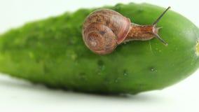 Een tuinslak kruipt op een komkommer, een witte achtergrond stock footage