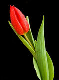 Een tulp op zwarte. Stock Foto